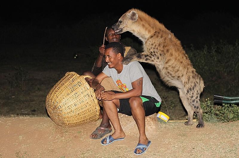 Hyenas - Ethiopia