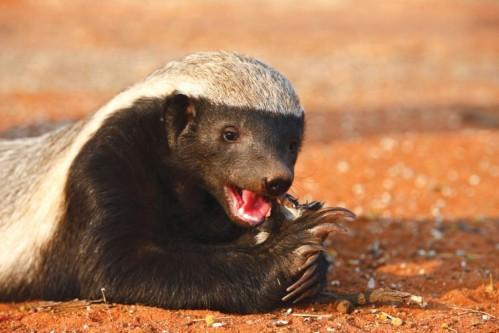 Honey Badger(Mellivora capensis)