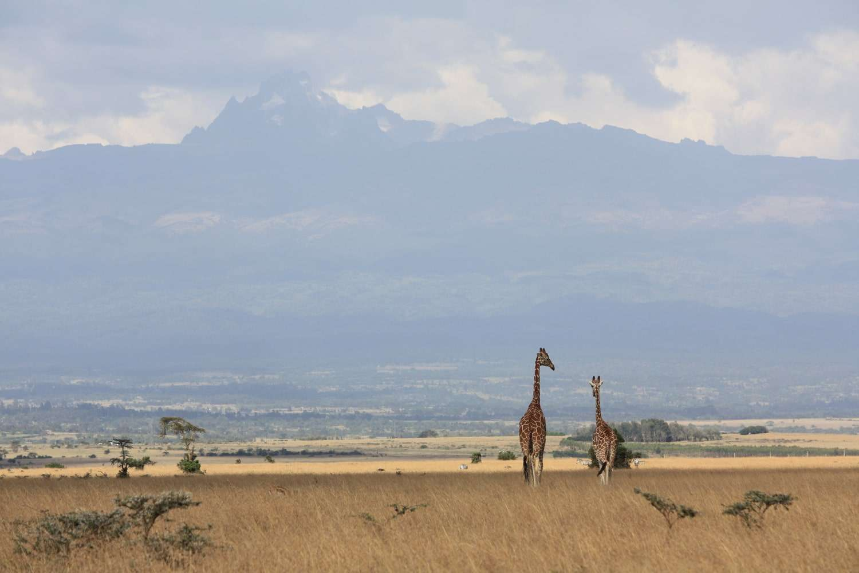 Aberdare National Park two giraffes