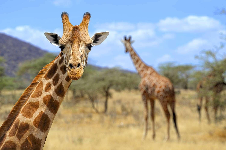 Kenya Amboseli giraffe