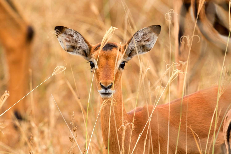 Lake Nakuru Gazelle
