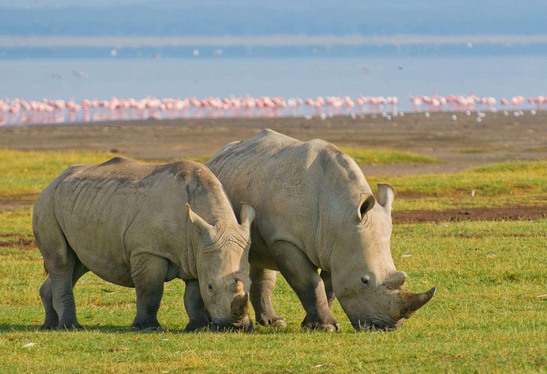 Rhinos of lake Nakuru