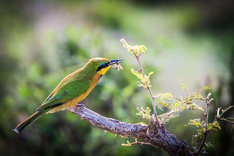 Kenya Masai Mara bird