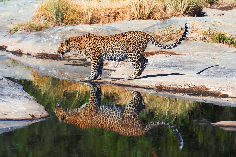 Kenya Masai Mara lepard
