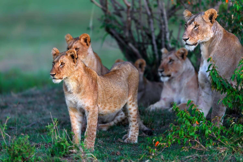 Kenya Masai Mara lions