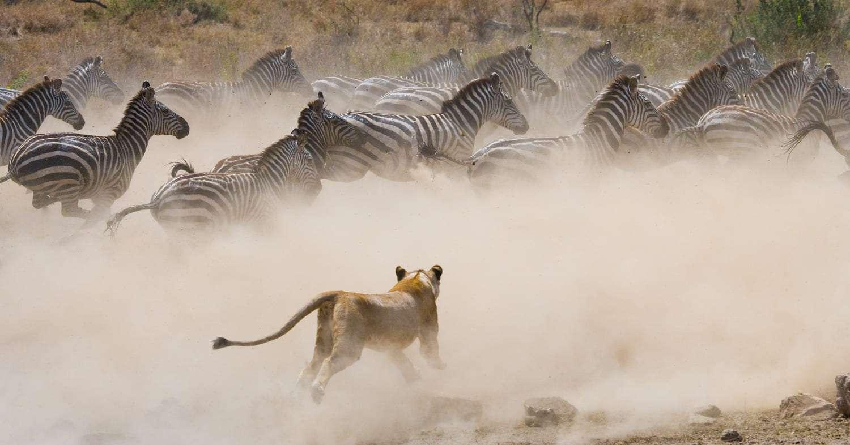 Kenya Masai Mara zebras
