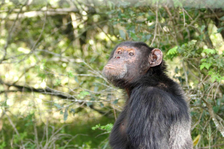Kenya Amboseli chimpanzee