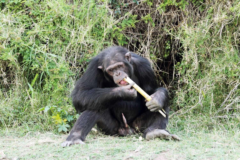 Kenya Amboseli chimpanzee eating sugarcane