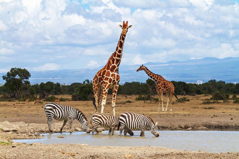 Kenya Ol Pejeta giraffe