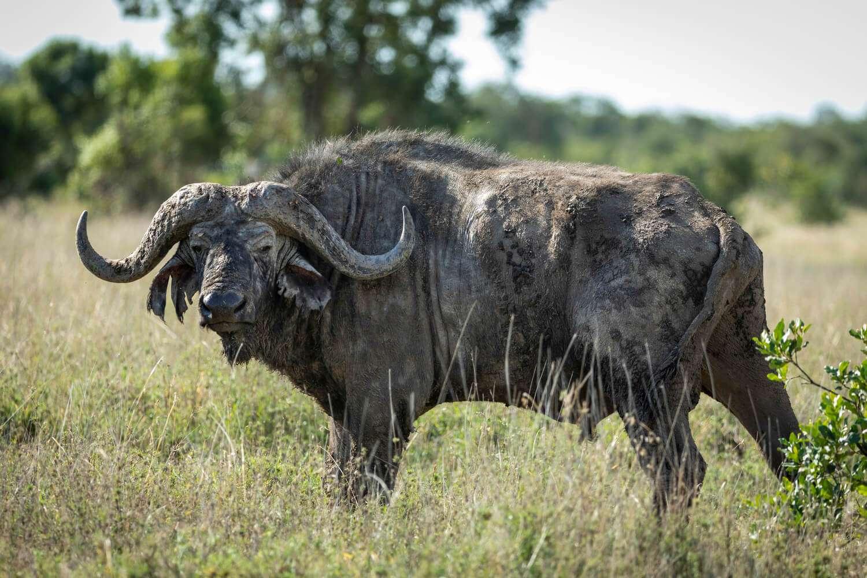 Kenya Ol Pejeta buffalo