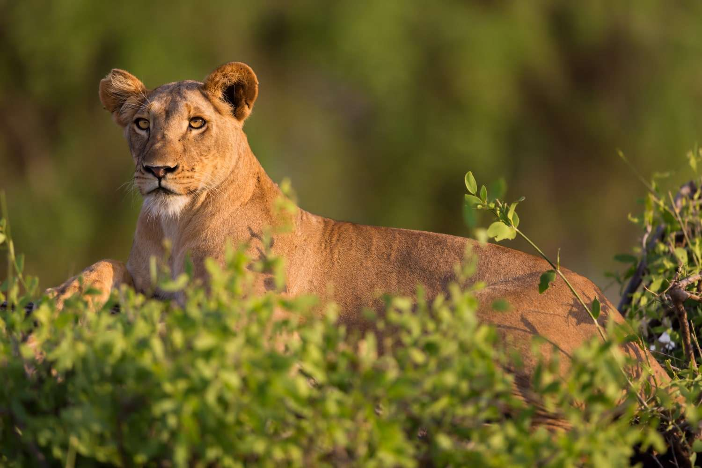Kenya Samburu National Reserve Lioness