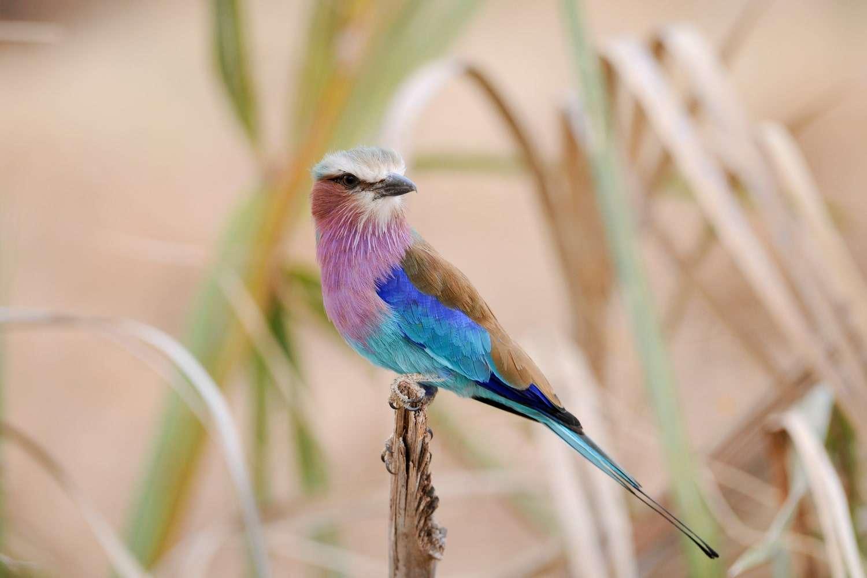 Kenya Samburu National Reserve lilac-breasted roller