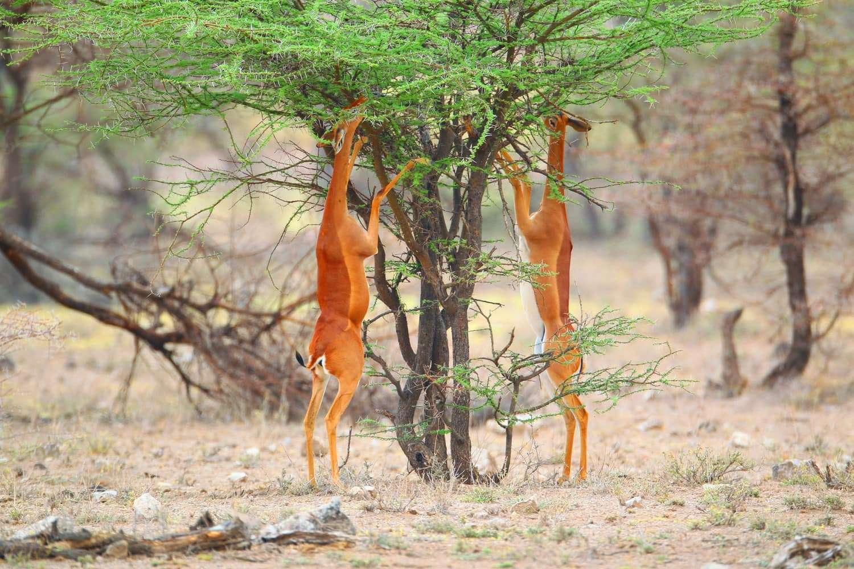 Kenya Samburu National Reserve antelope