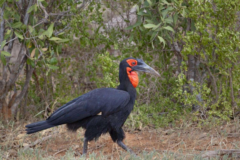 Southern Ground Hornbill in Tsavo East National Park