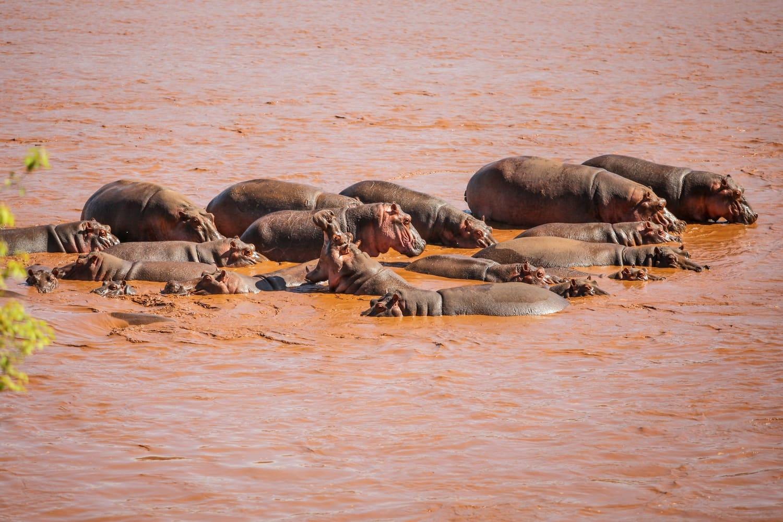 The Galana River Hippo