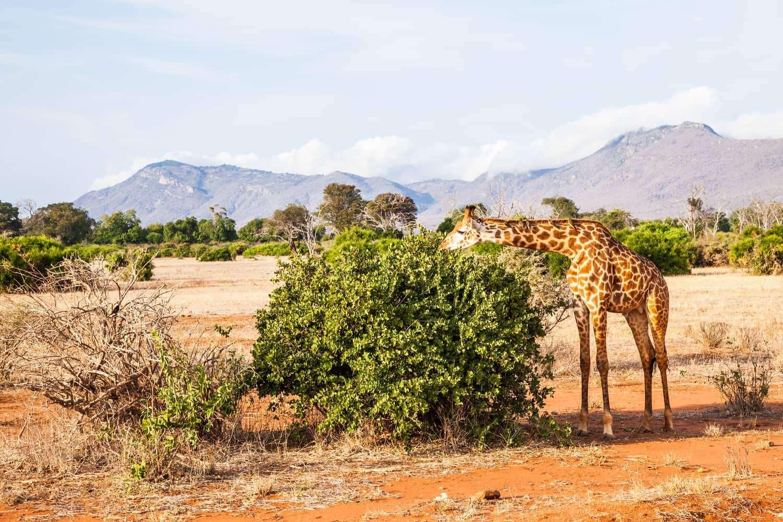 Kenya Tsavo East Giraffes