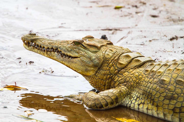 Kenya Tsavo East Crocodile