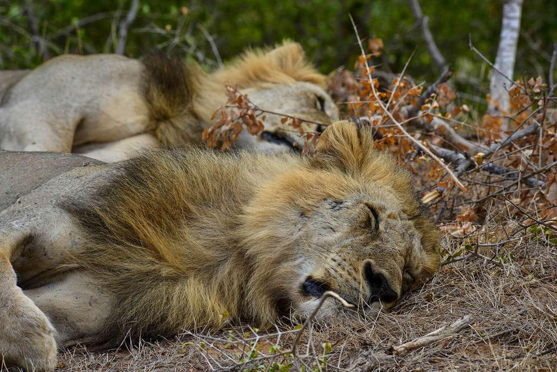 Kenya Tsavo East Lions