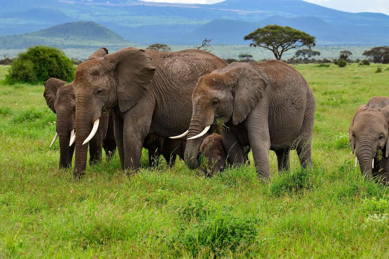 Kenya Tsavo West Elephants
