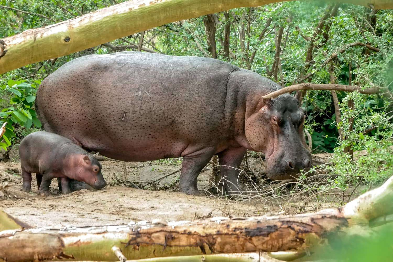 Kenya Tsavo West Hippos