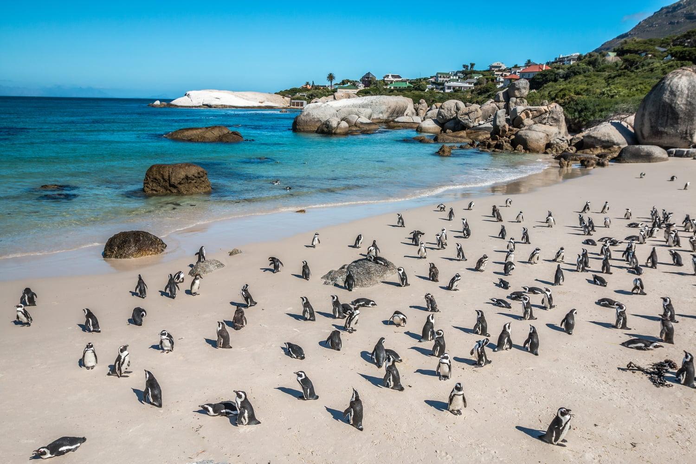 cape town penguins cape peninsula