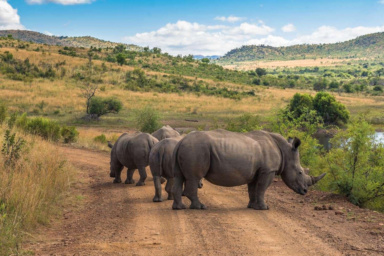 Rhinoceros. Pilanesberg national park. South Africa