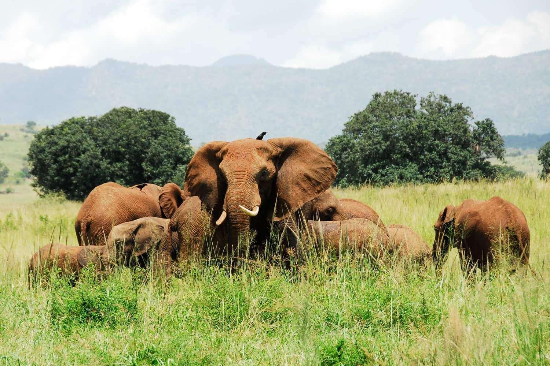 Elephants Kidepo Valley National Park Uganda