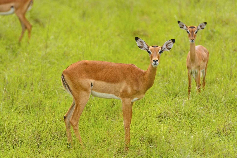 Female Impala Lake Mburo National park Uganda