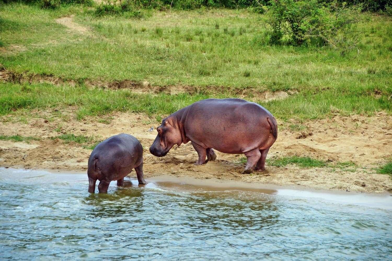 Hippo Kazinga Channel Queen Elizabeth National Park Uganda