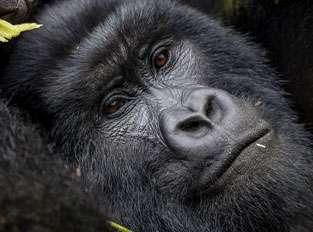 Visit Gorillas in Rwanda