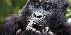 Gorila & Chimpanzee