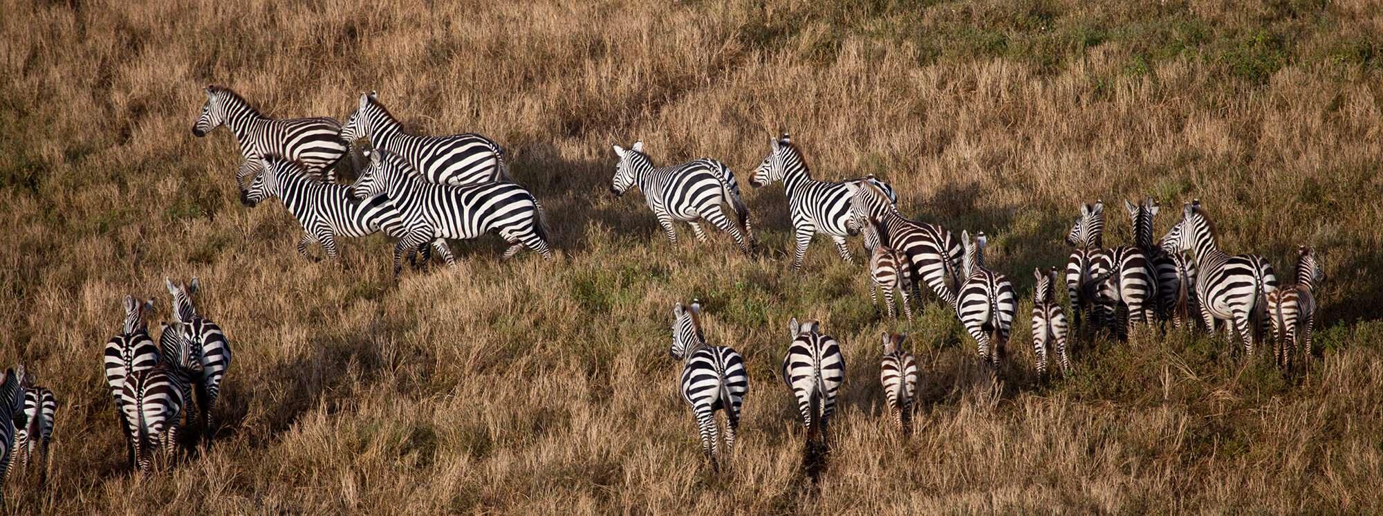 Zebra from Balloon safari