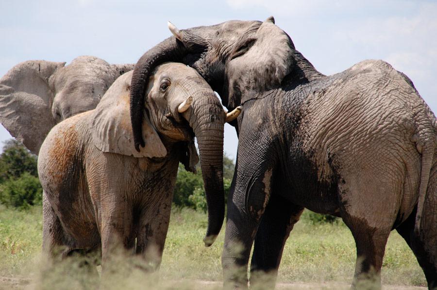 African Elephant Big 5