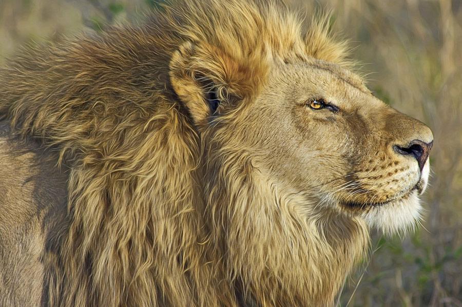 Lion Big 5