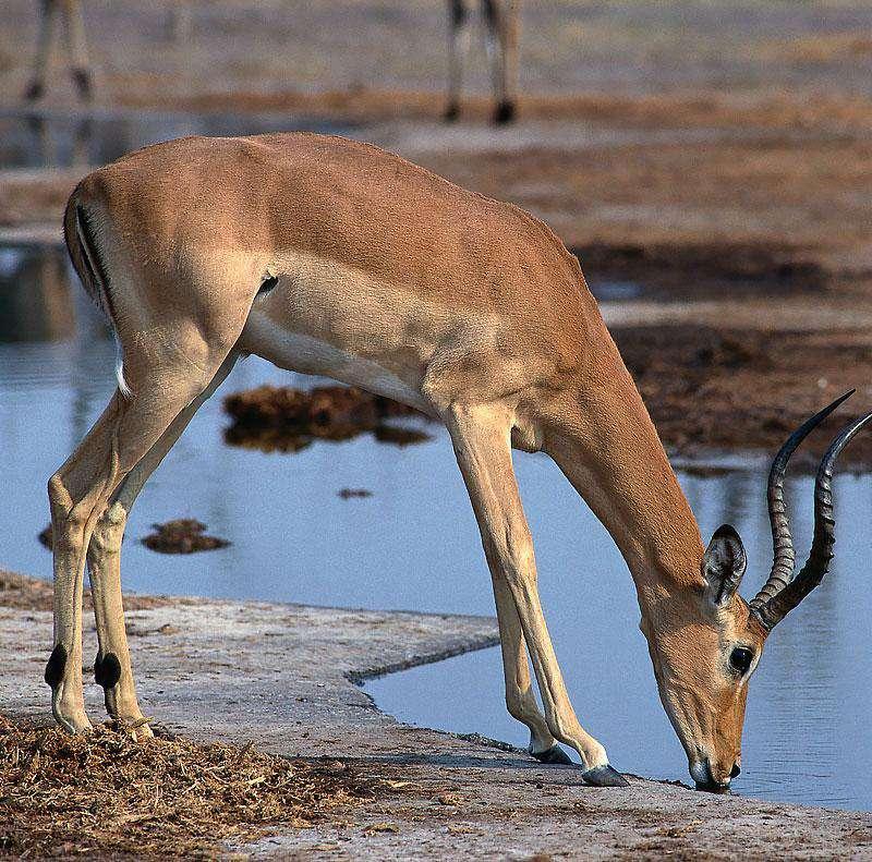 Uganda Antelope