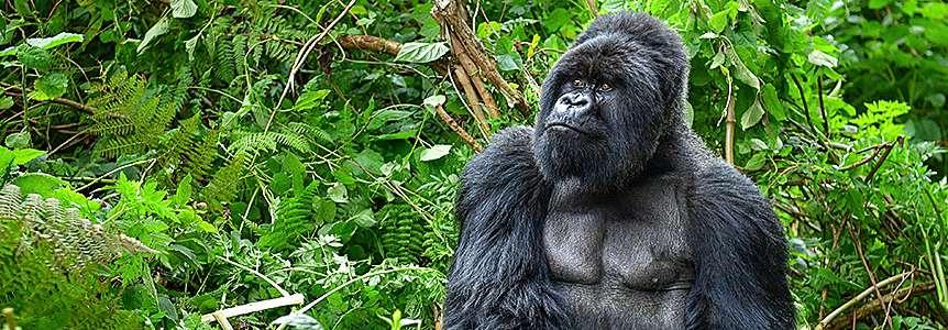 Поход к Гориллам и Сафари Уганды