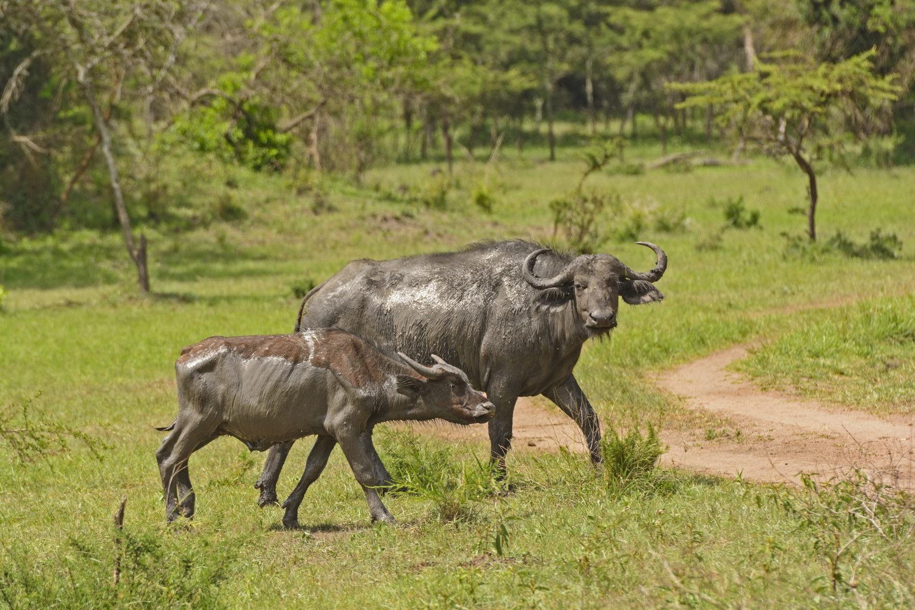 уганда мбуро