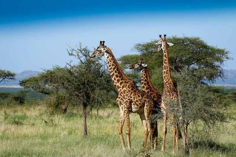 Mkomazi National park giraffe
