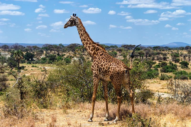 arusha national park giraffe
