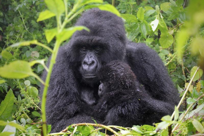 mother gorilla