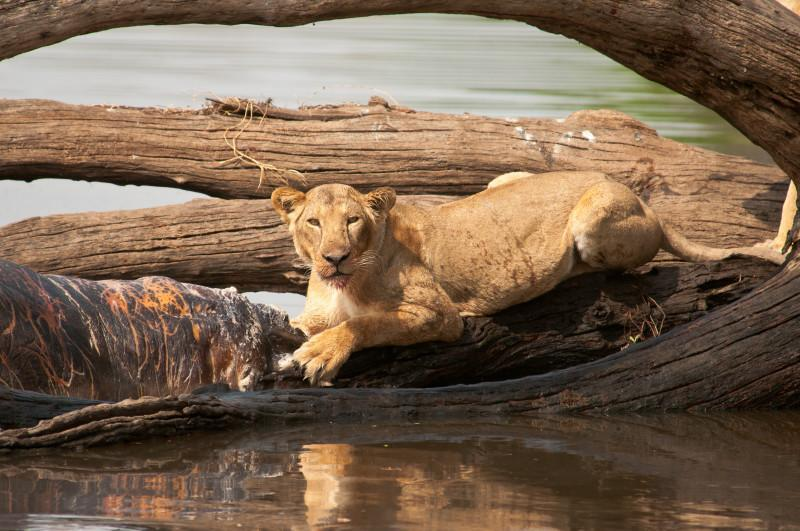 lion on the river
