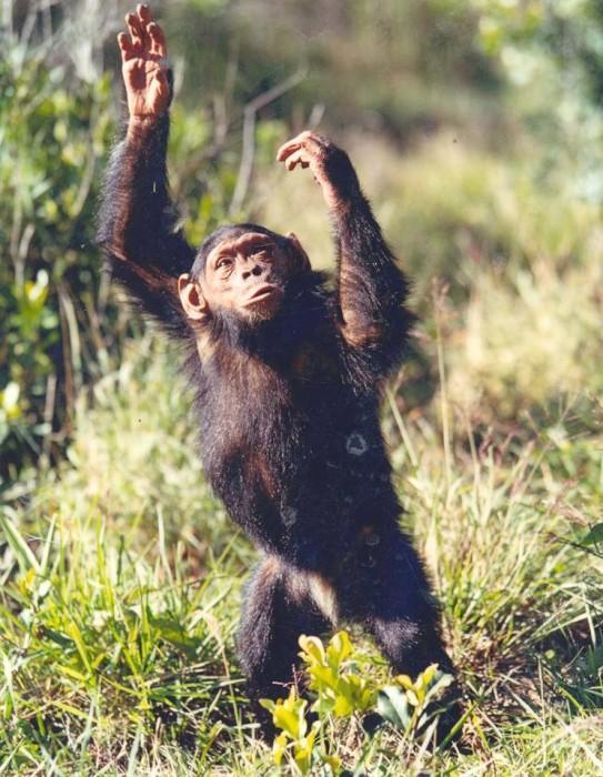ol peyeta chimpanzee