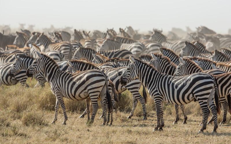 tanzania natinal parks zebra