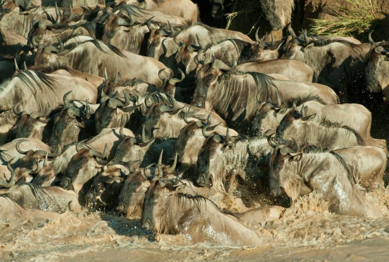 great wild beast migration