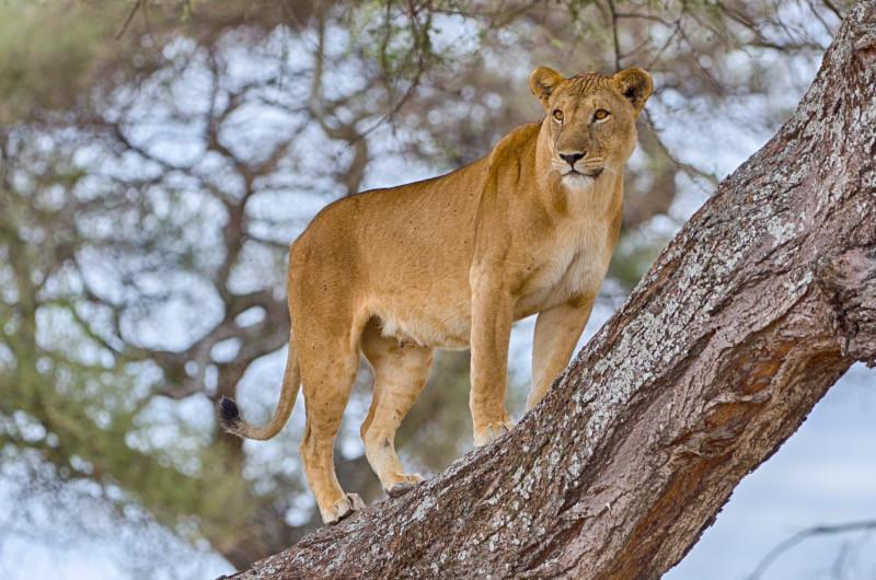 tanzania lion on a tree