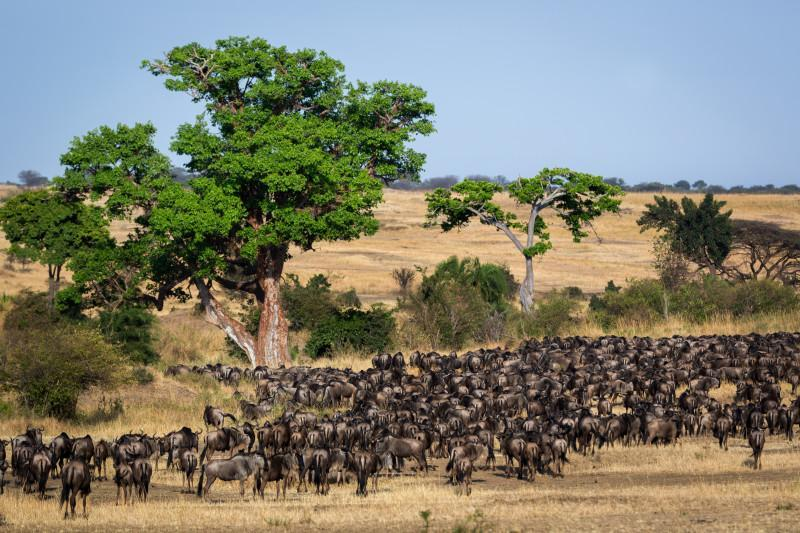 great wild beast migration safari tour masai mara