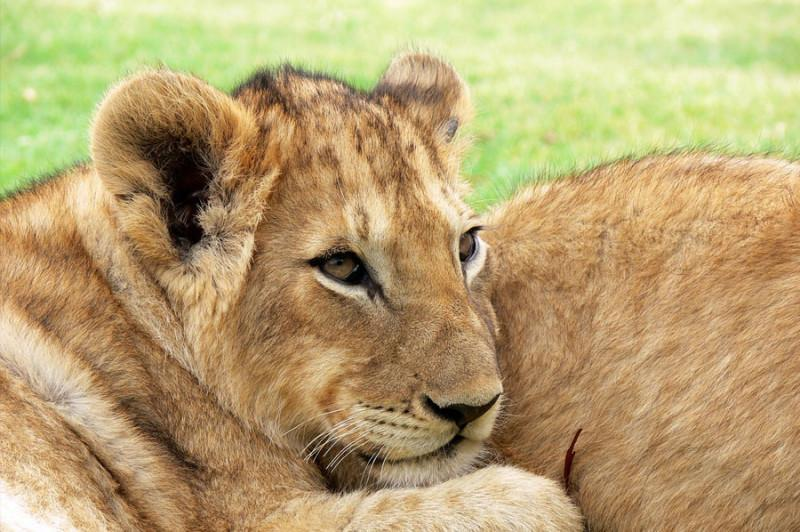 lion-wildlife-big-5