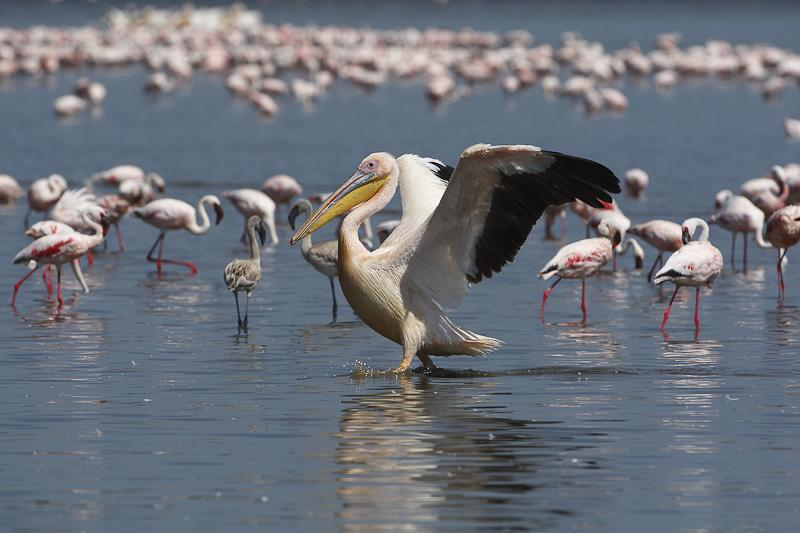 A pelican tries to steal the show from the hundreds of flamingos behind him.