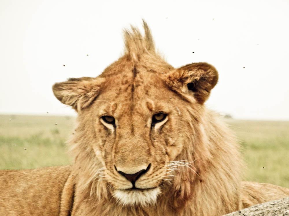 simba kopje rocks serengeti lion
