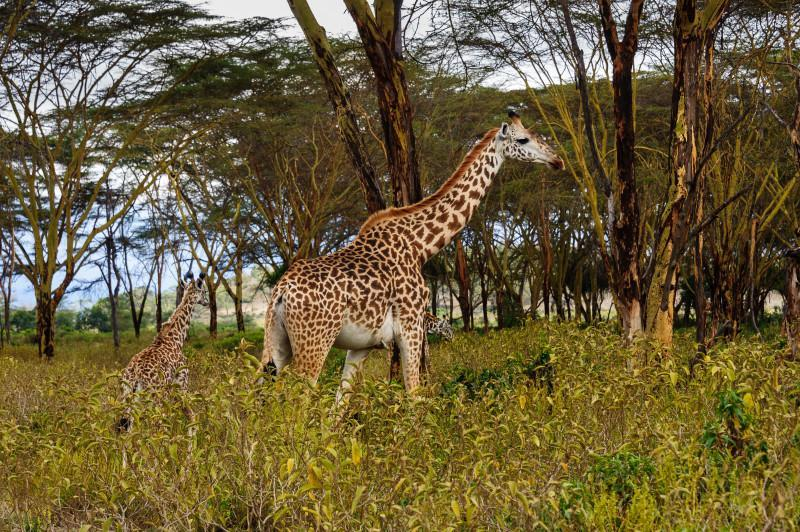 Masai Giraffe n Lake Nakuru National Park.Lake Nakuru is one of the Rift Valley soda lakes and It lies to the south of the city Nakuru , Kenya